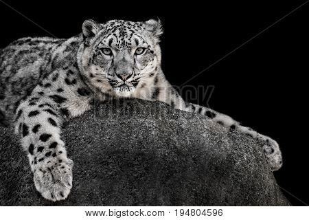 Frontal Portrait of a Snow Leopard Against a Black Background