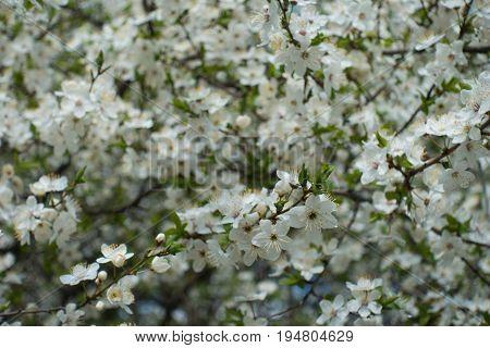 Lots Of White Flowers Of Prunus Cerasifera