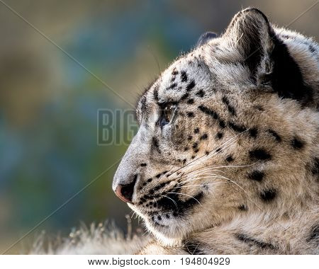 Profile Portrait of Snow Leopard in Snow