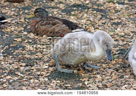 cygnet and duck on a stony beach
