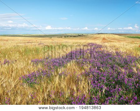 Meadow of wheat panorama and wild flowers. Nature composition.