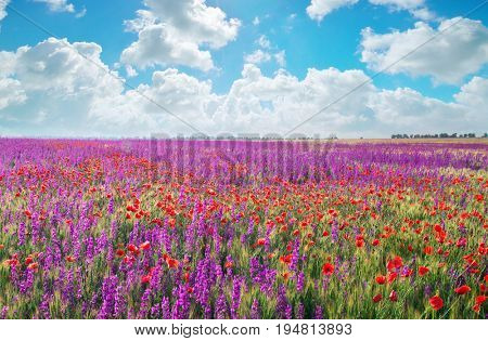 Meadow of spring violet flowers. Nature composition.