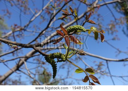 Flowering Branches Of Juglans Regia Against The Sky