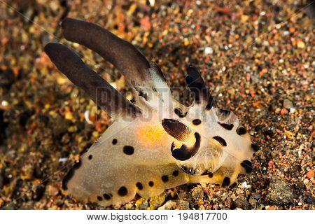 Thecacera Nudibranch, Sea Slug