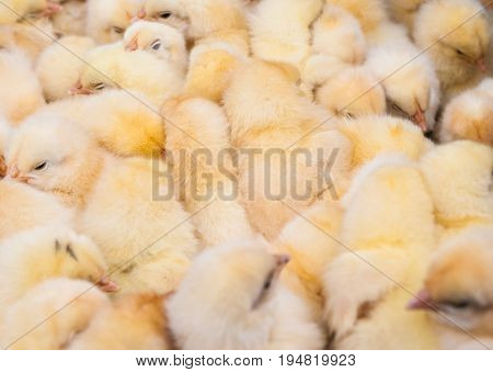 Rural market. Dressage cling. There are a lot of newborn chicks in the frame. Yellow color