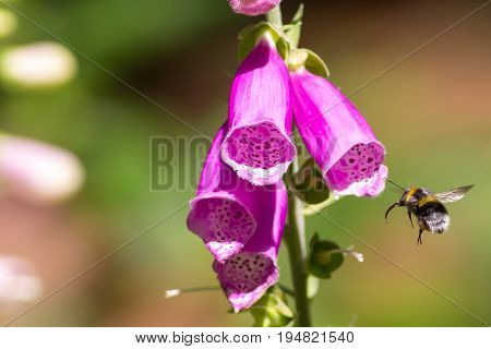 Pollination. Bumble bee flying towards garden flower. Insect visiting foxglove plant.