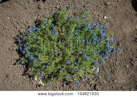 Small Flowering Shrub Of Veronica Armena In Dry Soil