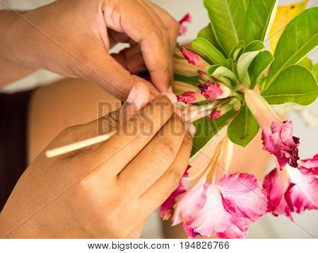 Farmer pollinate manually a red Impala Lily flower. for a seed of planting.