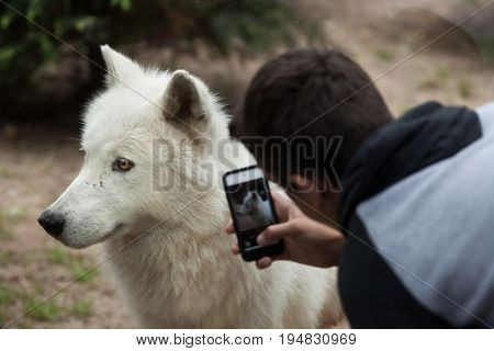 LA FLECHE, FRANCE - JULY 1, 2016: Visitor uses a smartphone to photograph the Arctic wolf (Canis lupus arctos), also known as the Melville Island wolf at La Fleche Zoo in the Loire Valley, France.