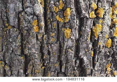 Bark tree nature closeup concept - bark of wood with lichen as a background
