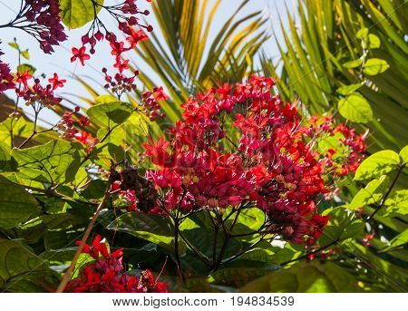 A cluster of vibrant pink flowers of a bleeding heart vine. Green foliage and blue sky in the background