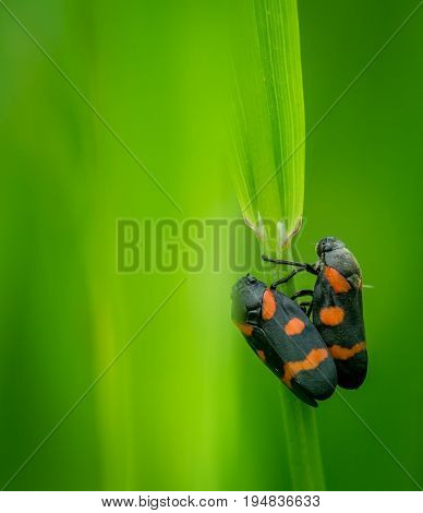 black - and - red froghoppers (Cercopis vulnerata) macro photo