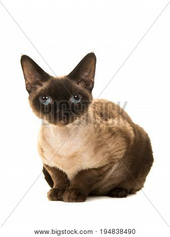 Pretty seal point devon rex cat with blue eyes lying down looking straight into the camera seen from the side isolated on a white background