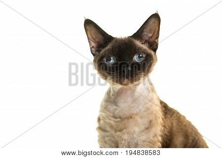 Pretty seal point devon rex cat portrait with blue eyes looking straight into the camera isolated on a white background