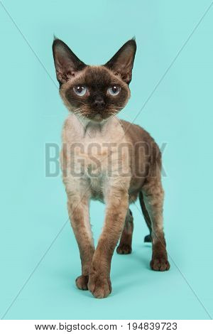 Pretty standing seal point devon rex cat with blue eyes facing the camera on a mint blue background