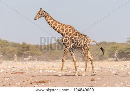 A Namibian giraffe giraffa camelopardalis angolensis walking and pooing