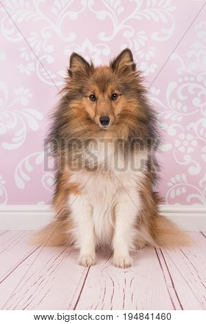 Pretty sitting shetland sheepdog looking at the camera in a pink living room