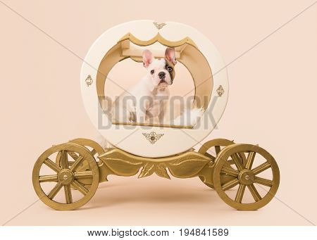 Cute french bulldog puppy in a carriage on a creme background