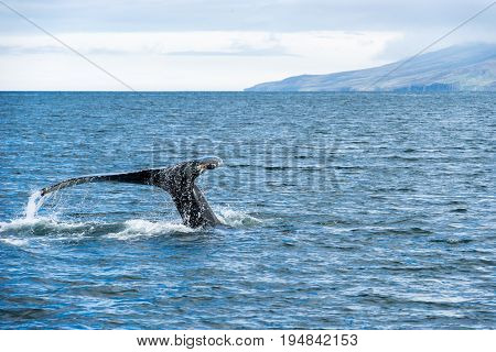 Humpback whales are the most common whale around Iceland