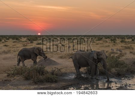 African elephants Loxodonta africana and zebras in the twilight of sunset at a waterhole in Northern Namibia
