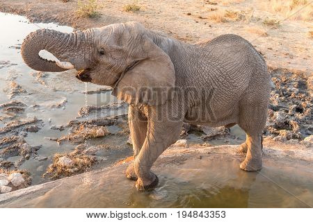 An African elephant Loxodonta africana drinking water at sunset a waterhole in Northern Namibia
