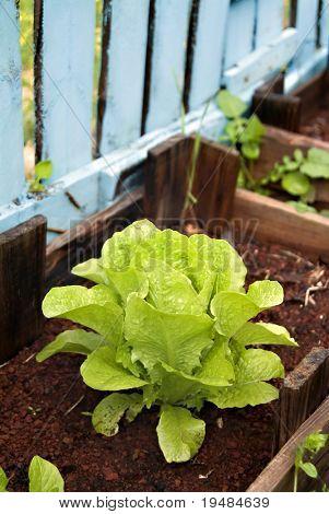 organic Romaine lettuce in a Vegetable Garden