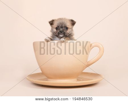 Cute mixed breed spitz puppy in a cup and plate on a sand colored background