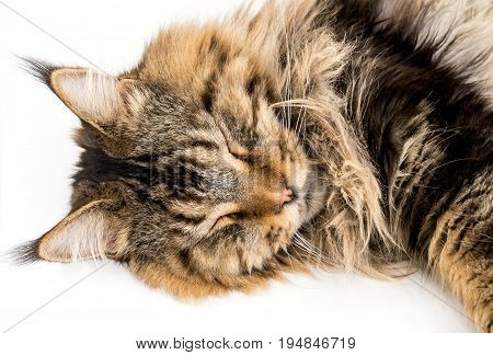 Closeup of a beautiful brown tabby Maine Coon cat with long dense lynx tips sleeping on the side with his eyes closed on a white background.