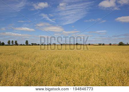 Golden Oat Field