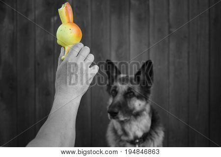 Human hand with a dog toy attracting attention of his shepherd dog selective color photo
