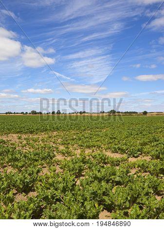 Sugar Beet Crop In Summer