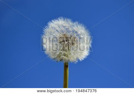 Dandelion seed head with blue sky background