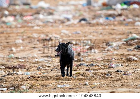 A lone stray dog at the landfill full of garbage.
