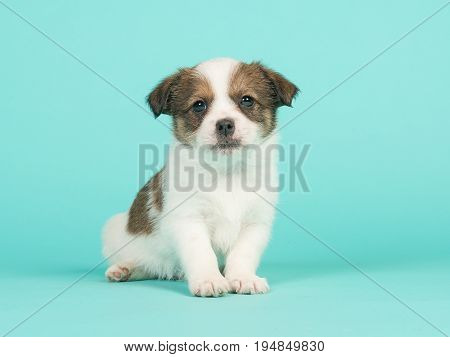 Brown and white jack russel mix puppy sitting facing the camera on a turquoise blue background