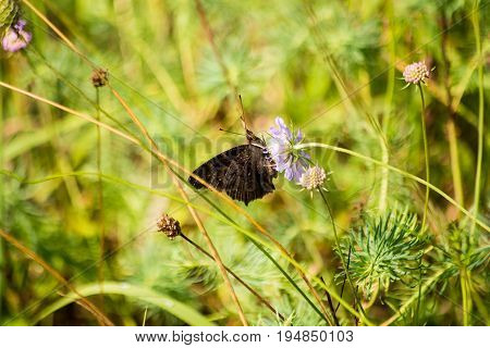 A butterfly drinks nectar from a flower