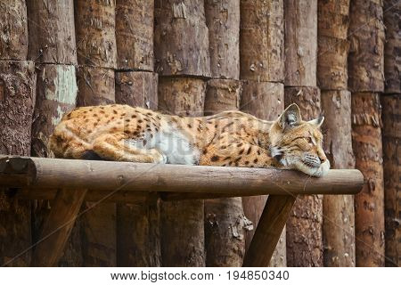 Image of Lynx Rests on the Wooden Shelf