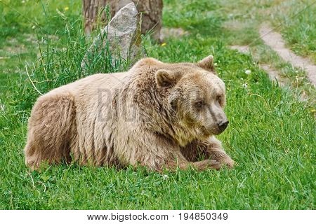 Brown Bear Resting on the Green Grass