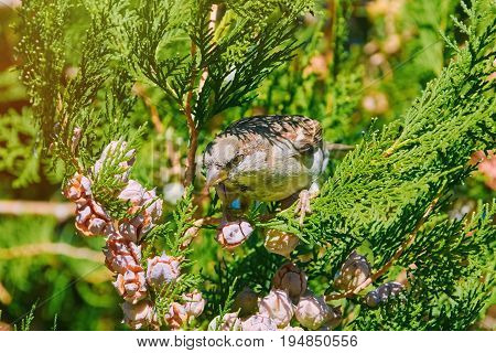 Sparrow Sitting on the Branch of a Thuja