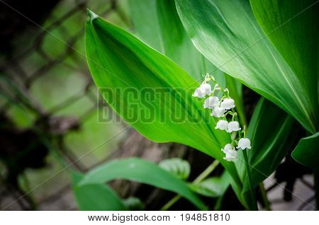 Snowdrop in the garden. Spring flower. Lily of the valey.