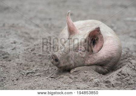Free range pig sleeping in the mud