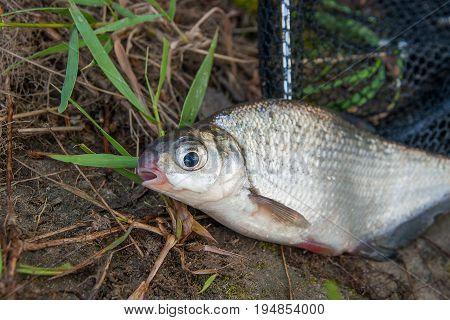 Single Freshwater Fish White-eye Bream On Black Fishing Net.