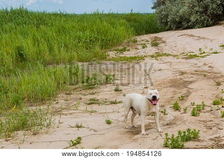 Happy Pit bull dog smile dog face American Staffordshire Terrier. Natural sand beach background in summer day