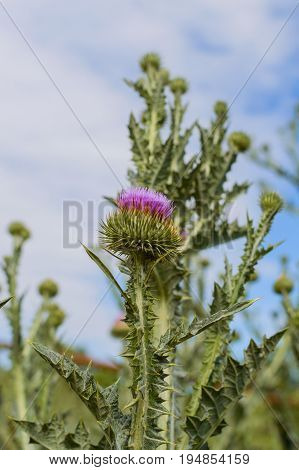 Thistle Buds And Flowers