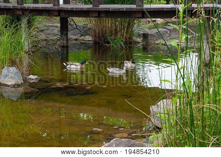 Two Male Mallard Ducks And Female Mallard Duck Floating On A Pond At Summer Time.