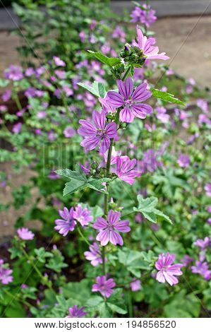 Malva sylvestris (cheeses high mallow and tall mallow) is often grown as an ornamental plant for its attractive flowers produced for a long period through the summer