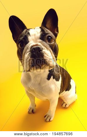Full length portrait of French bulldog sitting on yellow background