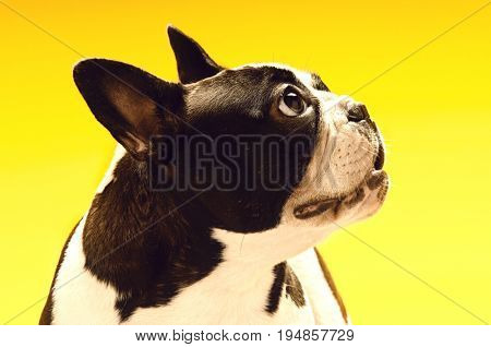 Curious French bulldog looking away on yellow background