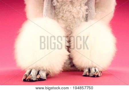 Low section of groomed White Poodle's legs on pink background
