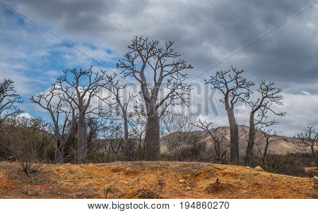 Group of young baobabs in a cloudy day Madagascar