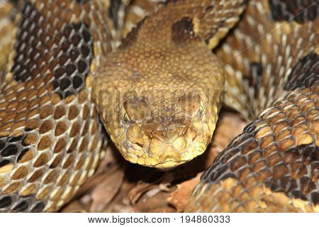 Timber Rattlesnake (Crotalus horridus) coiled to strike. This species is considered threatened or endangered over much of its range